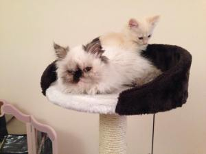 Hugo and Popcorn - stars of the kitty cafe! copyright - Kate Charles-Richards